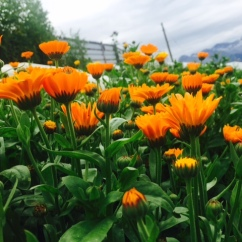 unser Ringelblumen Feld